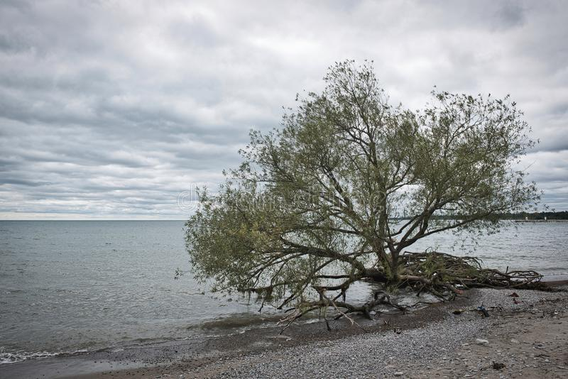 Uprooted tree by edge of blue lake water on a beach on a cloudy day. With blue sky royalty free stock photo