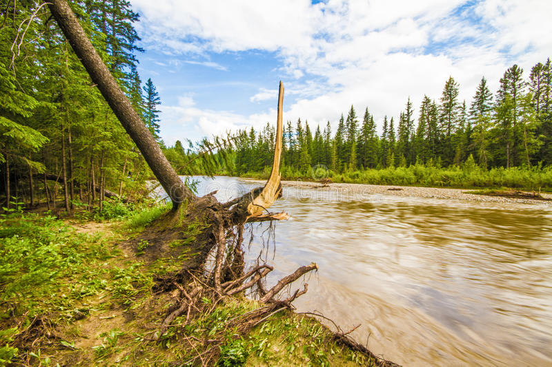 Uprooted Tree. Beside Fish Creek after the June 2013 Calgary flood stock photography