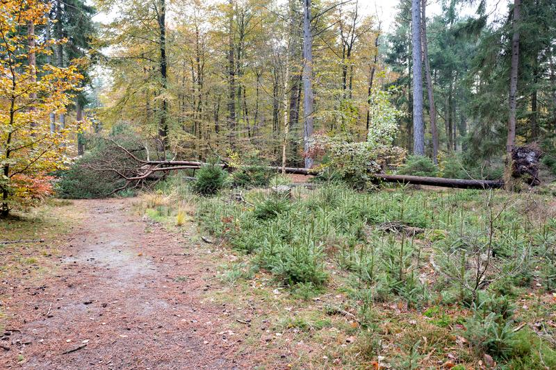 Uprooted tree. In forest after storm royalty free stock photo
