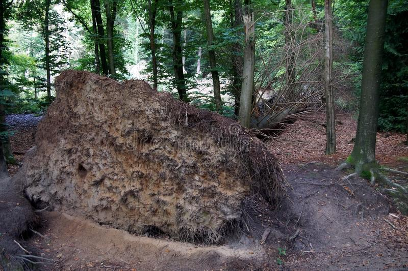 Uprooted tree. In a forest royalty free stock photos