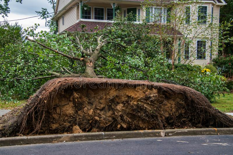 Uprooted tree in front of a house after a storm. Large uprooted tree laying across the sidewalk and onto the lawn in a residential neighborhood. The concrete of royalty free stock images