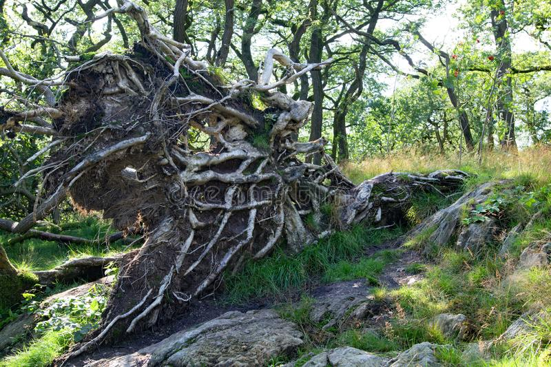 Uprooted tree, Ingleton, Camford, England. This rare shaped and uprooted tree, was captured in Ingleton, Camford, Yorkshire Dales, England, just before dusk royalty free stock photography