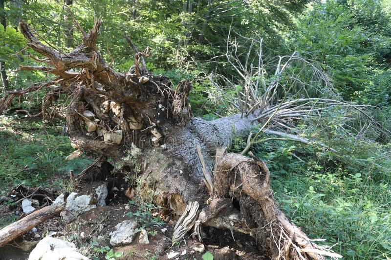 Uprooted tree on mountain. After the hurricane stock photography