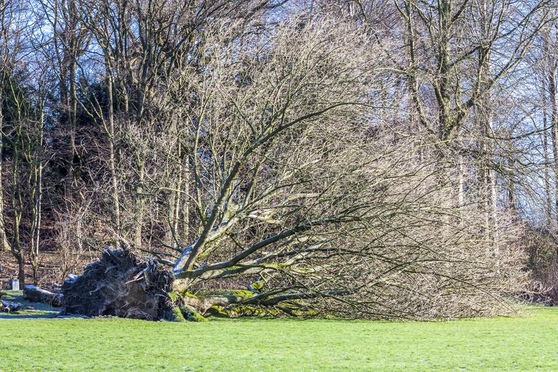 Uprooted tree in a Park in Germany. After storm stock photography