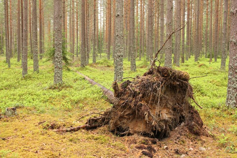 Uprooted tree. In a pine tree forest stock photo