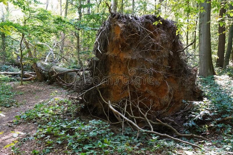Uprooted tree left to rot in natural forest. Uprooted tree after storm damage left to rot in natural forest royalty free stock photo