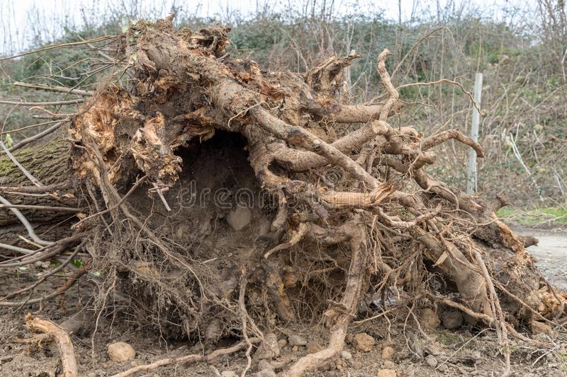 Uprooted tree. A tree uprooted by the wind, fallen to the ground and with its roots uncovered royalty free stock photos