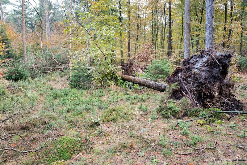 Uprooted tree. In forest after storm stock photography