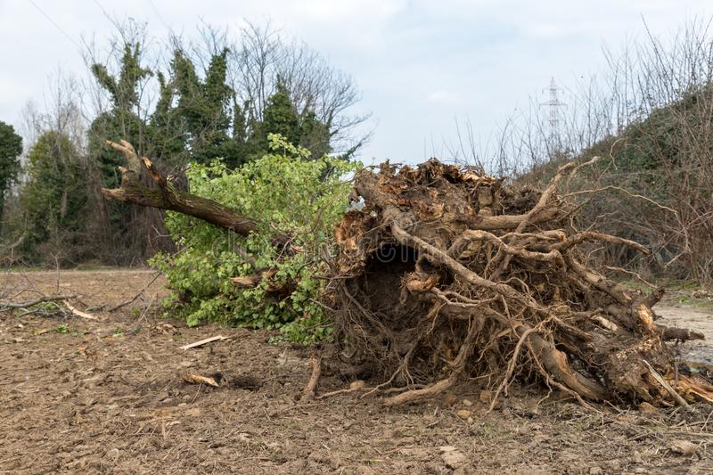 Uprooted tree. A tree uprooted by the wind, fallen to the ground and with its roots uncovered stock image