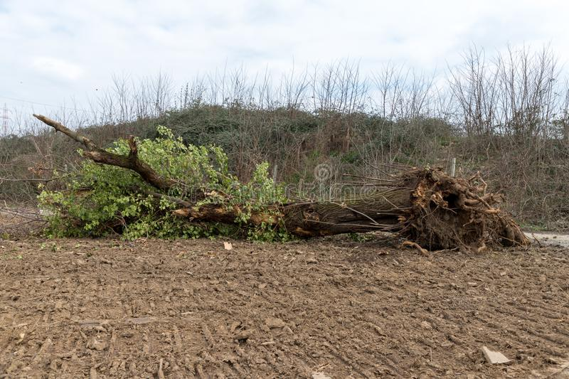 Uprooted tree. A tree uprooted by the wind, fallen to the ground and with its roots uncovered royalty free stock image