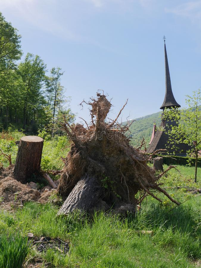 Uprooted tree with a wooden church in the background. Photography of an uprooted tree resulting from a heavy wind and storm. A wooden church is positioned in the stock images