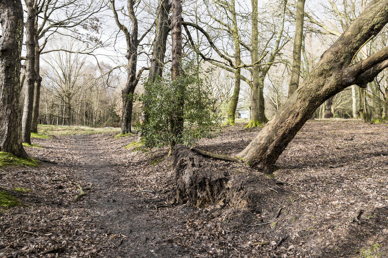 Uprooted Tree. In woodland after storm damage stock photos