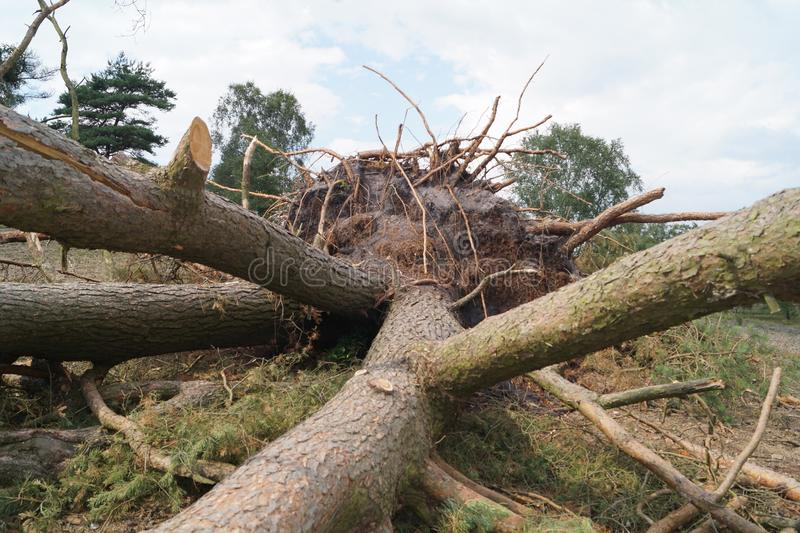 Uprooted trees by storm. Storm Herwart uprooted the trees in the nature reserve Ruebker Moor stock photo