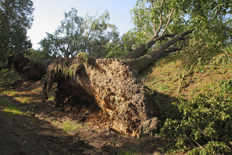 Uprooted trees. Two big trees uprooted by a strong wind royalty free stock photos