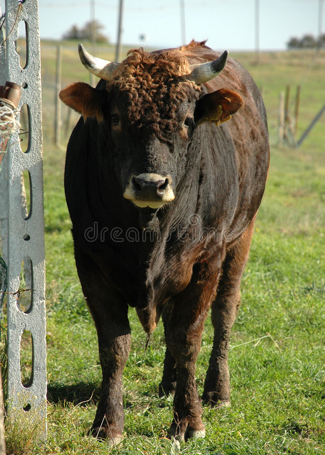 Upset Curly Ox stock images