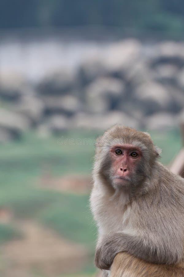 Upset Monkey stock photos