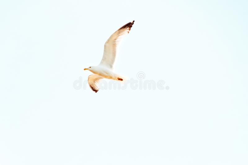 Upshot of a seagull flying overhead on a sunny day with clear blue sky in the background stock image