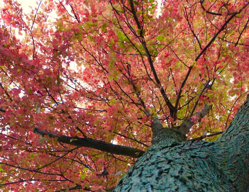 The upshot of a tree in the fall royalty free stock photos