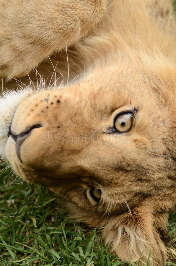 Upside down baby African lion cub. A Cute playful African lion cub lying on the green grass. Looking at me with his big beautiful eyes royalty free stock photos