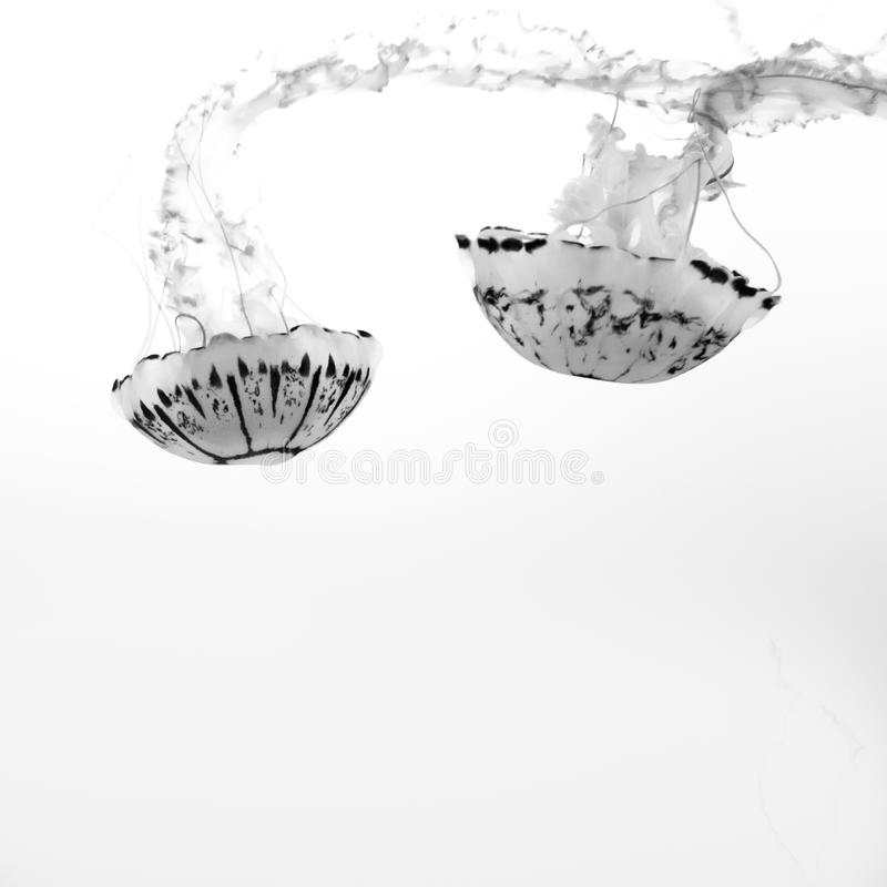 Free Upside-down Jellyfish Swimming On White Background Royalty Free Stock Image - 115547406
