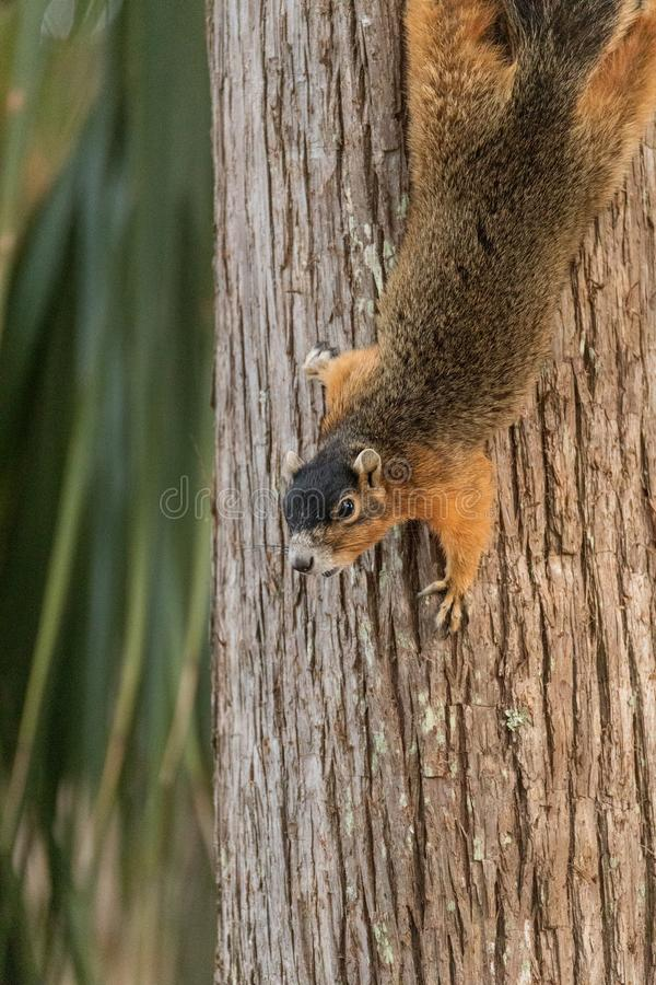 Upside down Southern fox squirrel Sciurus niger perches on a tree. In Naples, Florida stock photos