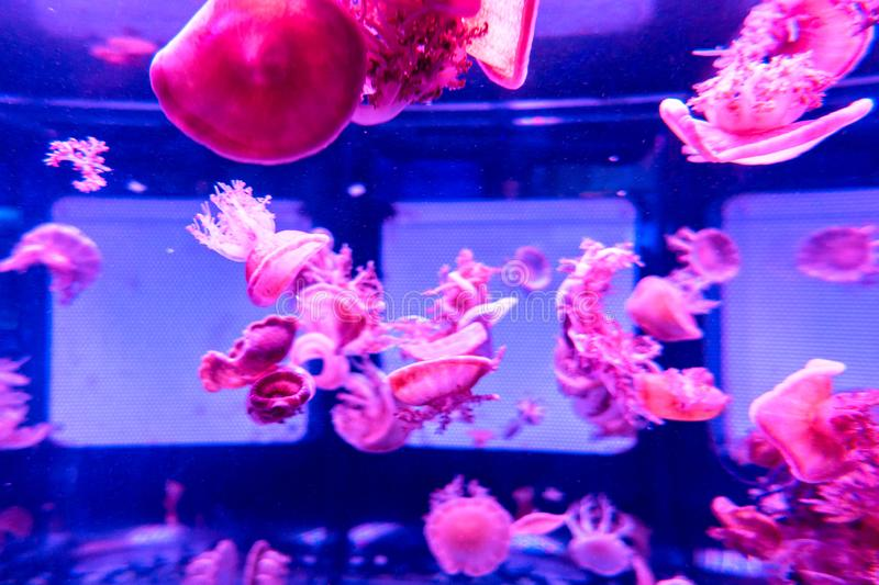 Upside Down in wate Jellyfish Casiopea andromeda stock photos