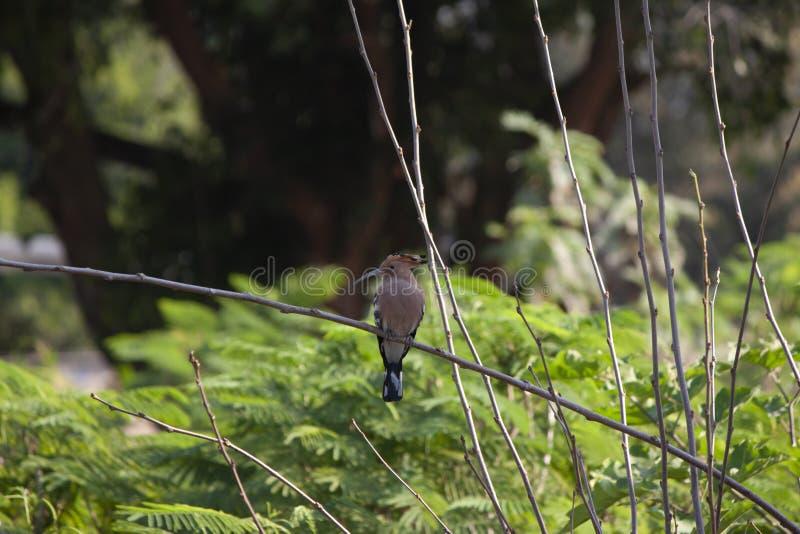 Upupa euroasiatica o upupa comune sull'albero del ramo sul fondo della natura fotografia stock libera da diritti