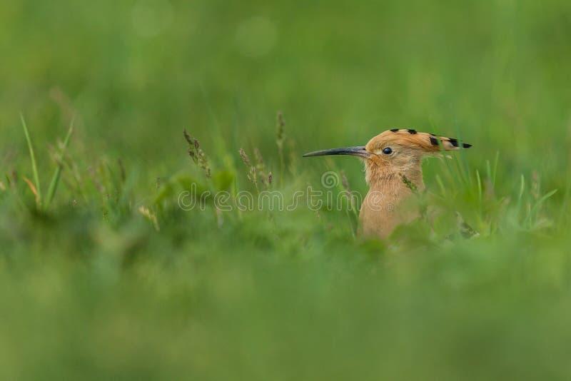 Upupa euroasiatica, un uccello marrone in erba verde immagine stock libera da diritti