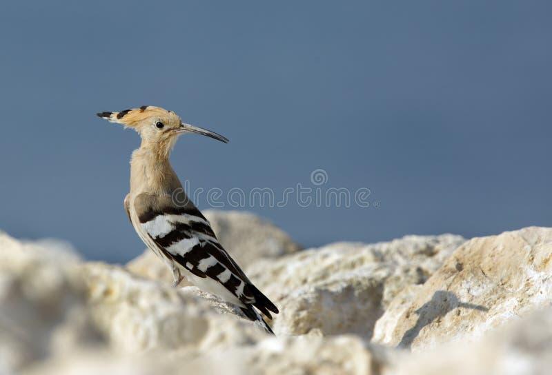 Upupa, uccello migratore di Bhrain immagini stock