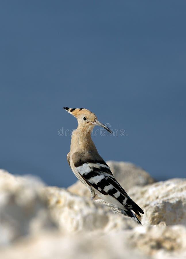 Upupa, uccello migratore di Bhrain fotografia stock libera da diritti