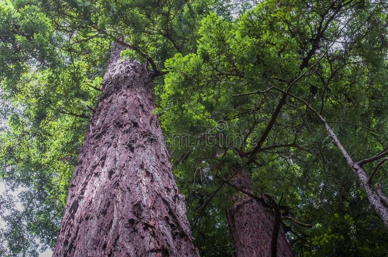 Upward view redwood trees and foliage. Upward facing shot of redwood trees. Enhances the detail and texture of the bark and shows the magnitude of the tree royalty free stock image