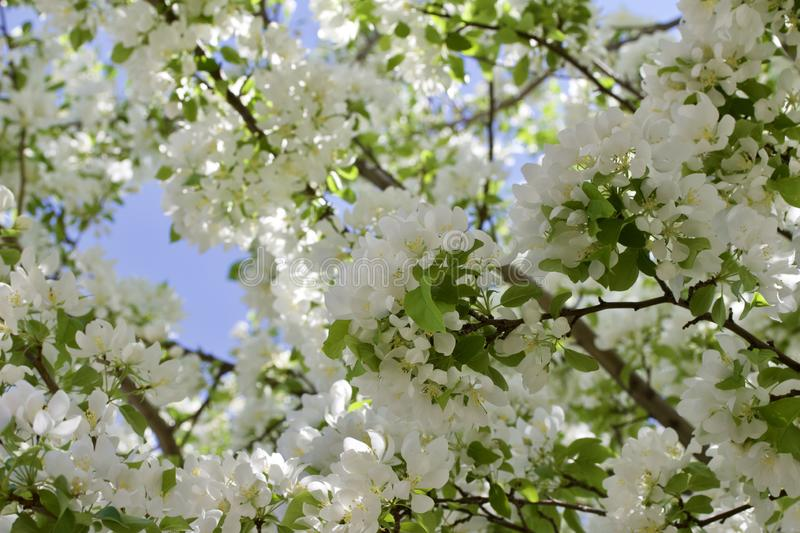 Upward view of attractive white crabapple blossoms in full bloom. Upward view of a attractive white crabapple blossoms in full bloom with blue sky background stock photography