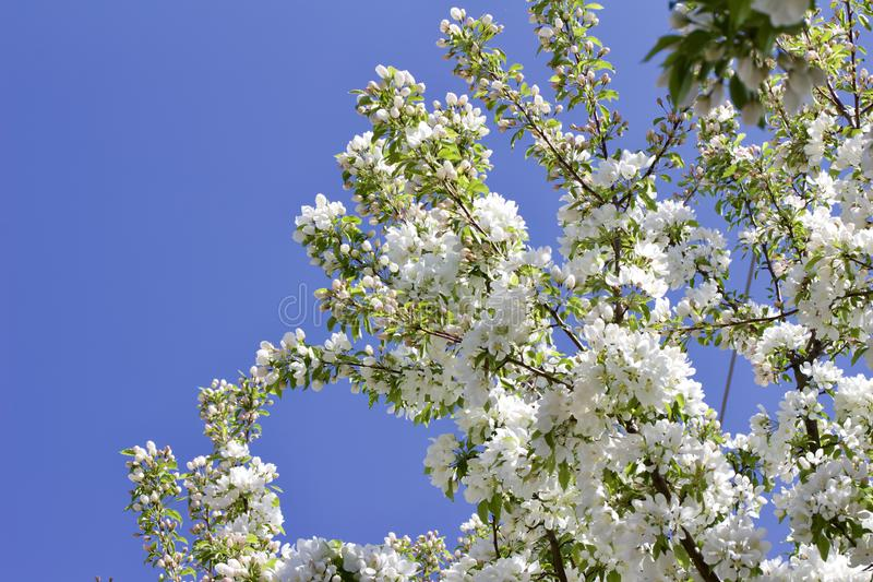 Upward view of attractive white crabapple blossoms in full bloom. Upward view of a attractive white crabapple blossoms in full bloom with blue sky background and stock image