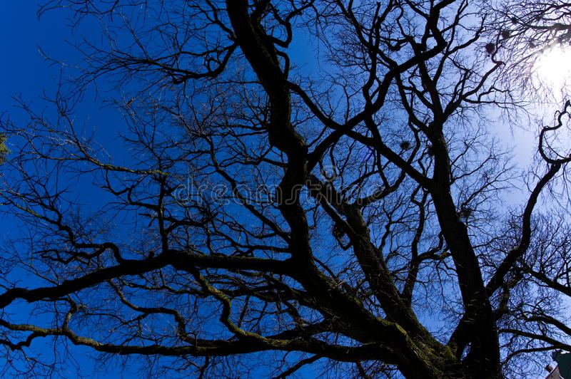 Upward view of barren spring tress wide angle fisheye lens. Early spring nature abstract. Blue sky  sunny day stock photography