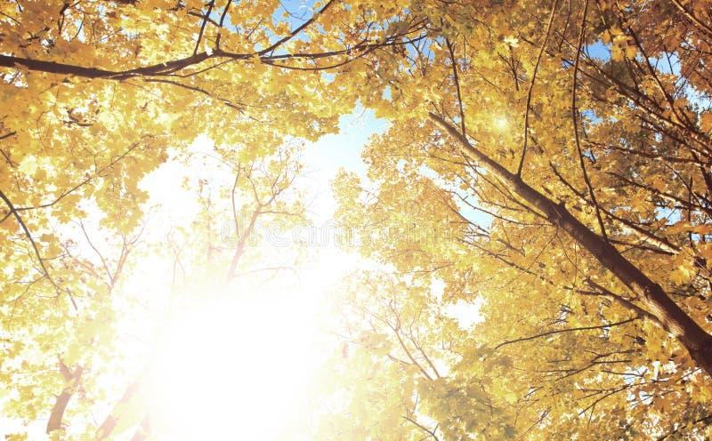 Upward view. Of fall trees stock image