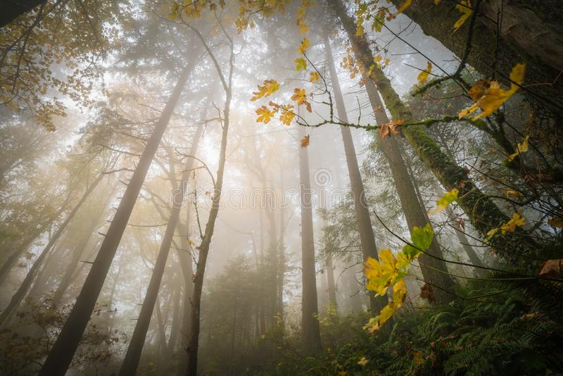 Upward view of a foggy forest. This is a upward view of a foggy forest royalty free stock photography