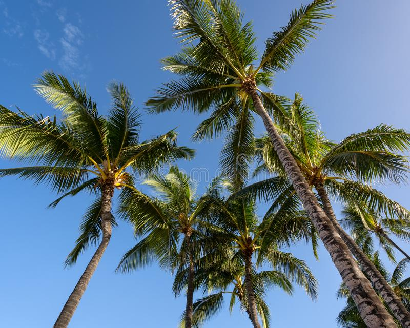 Palm Trees against a blue sky in Hawaii royalty free stock photos