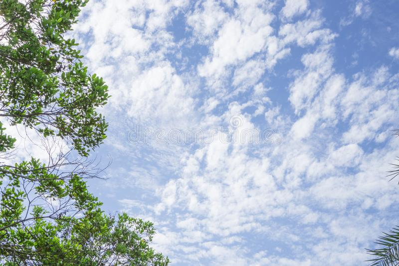 Upward view of soft wave of fluffy white clouds on vivid blue sky, evergreen leafs trees on frame royalty free stock images