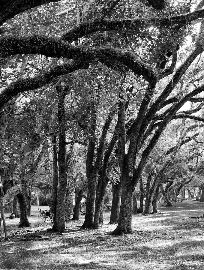 Uragano Bent Oak Trees fotografia stock libera da diritti