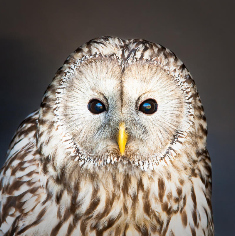 ural owl arkivfoton