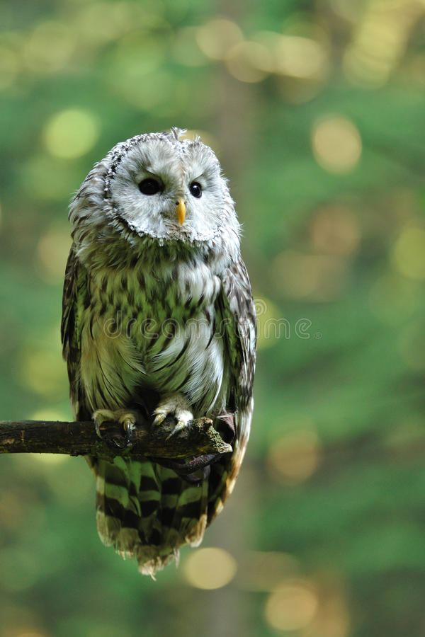 Download Ural Owl Stock Photography - Image: 22306442