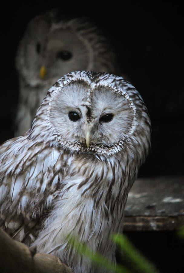 Download Ural owl stock photo. Image of environment, sitting, animal - 24796154