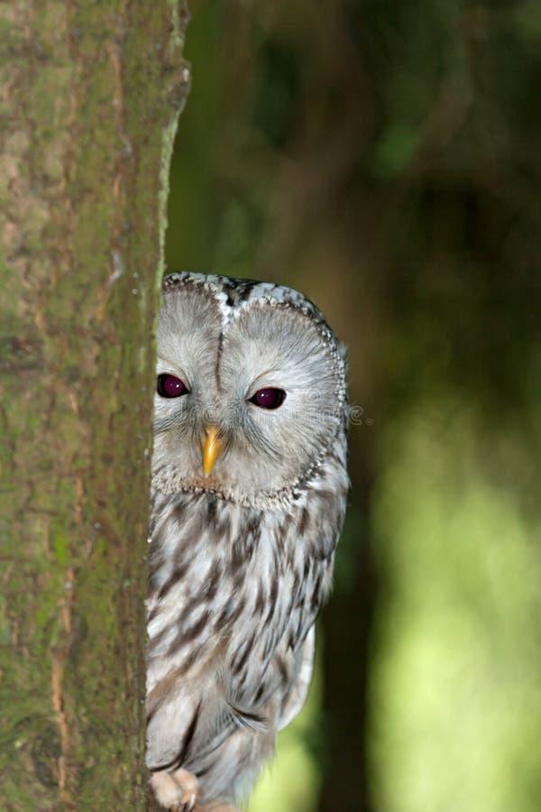Download A Ural Owl In It's Natural Habitat Stock Image - Image: 20079551
