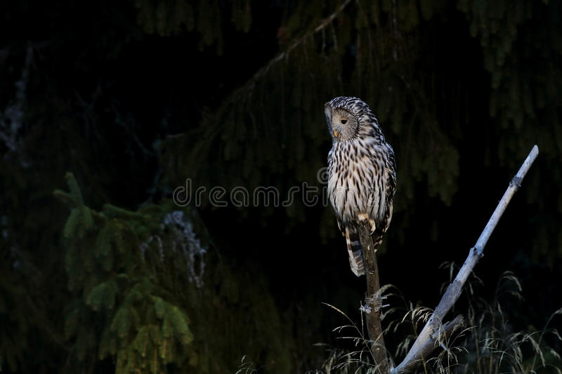 An Ural Owl sits on a stick at the edge of forest stock photography
