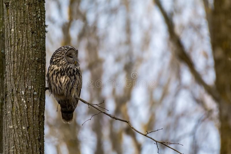 Ural owl sitting on a branch with clean background royalty free stock images
