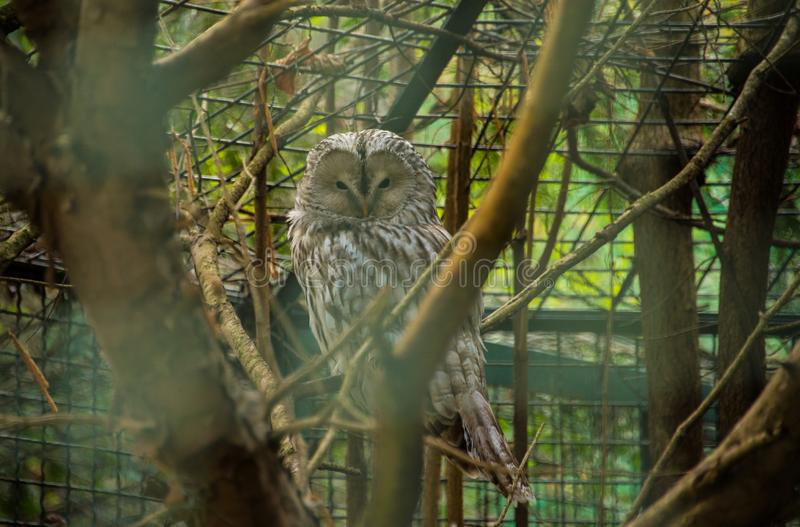 Strix uralensis / Ural owl. The Ural owl Strix uralensis is a medium-sized nocturnal owl of the genus Strix, with up to 15 subspecies found in Europe and royalty free stock photo