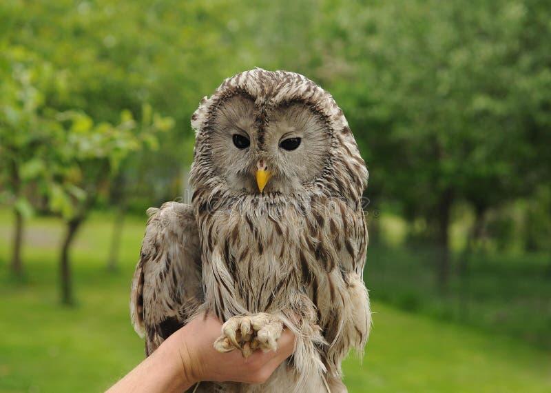 Ural Owl. Tame Ural Owl sitting on hand royalty free stock image