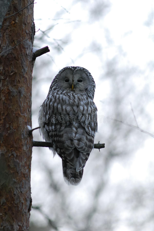 Ural owl on the tree. In wintertime royalty free stock photos