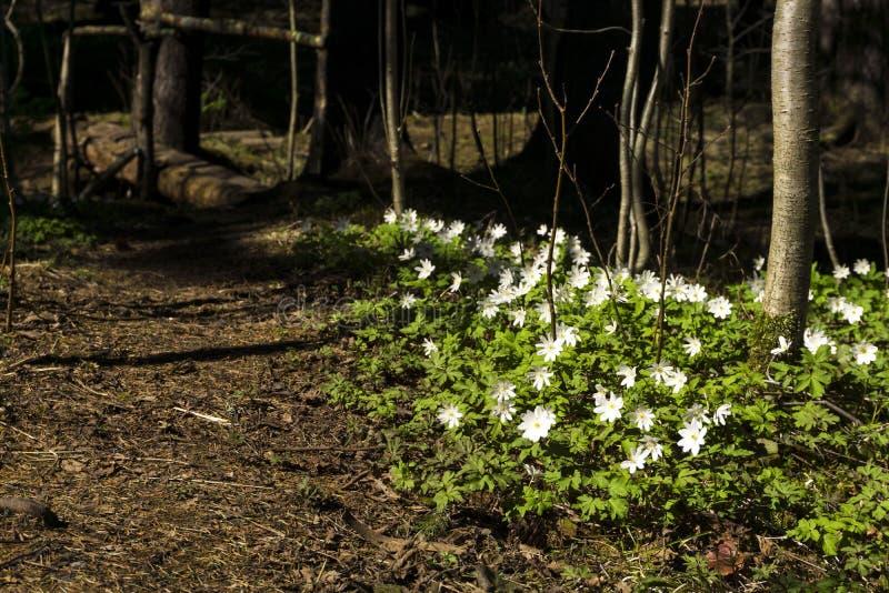 Uralensis de la anémona de las primaveras del bosque fotos de archivo libres de regalías