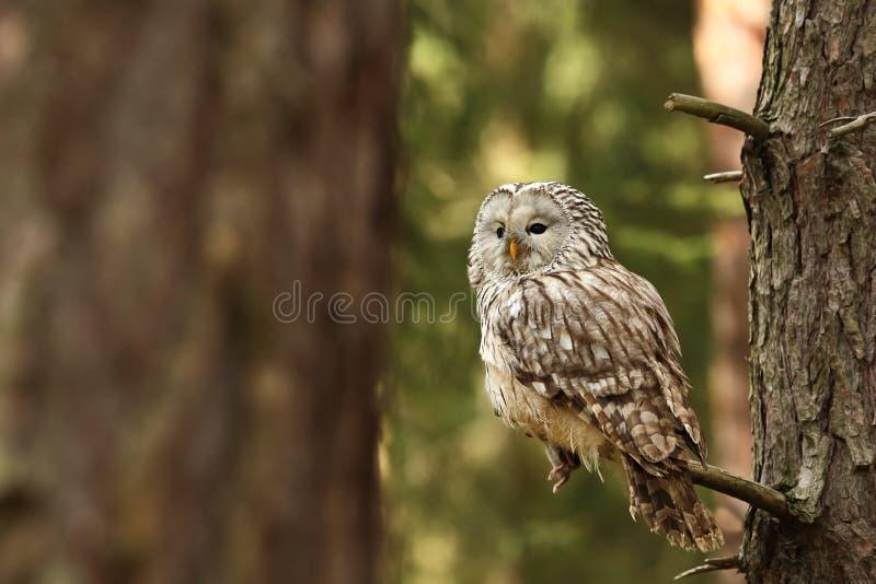 uralensis strix сыча семьи птицы Он живет в Европе и Азии В чехе оно редкий стоковое фото rf